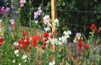 Изучаем, как вырастить душистый горошек — ароматное ампельное растение