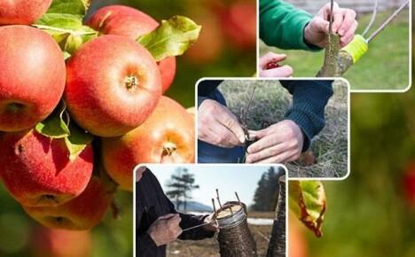 Когда лучше прививать плодовые деревья: ювелирная работа садоводов