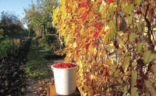 Ягоды лимонника китайского на приусадебном участке