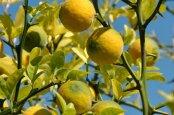 Выращиваем дома северный цитрус понцирус Трифолиата