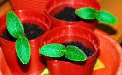 Как вырастить хорошую рассаду огурцов в домашних условиях?