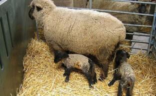 Племенные работы в овцеводстве