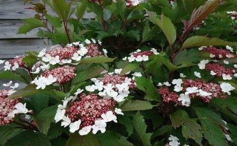 Нежная красавица калина Саржента: популярные разновидности сорта