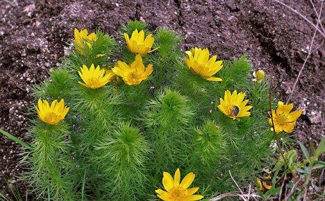 Выращиваем на садовых клумбах яркие солнечные цветы адонис