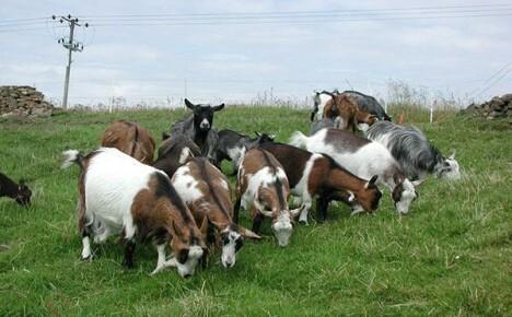 Фото пород коз с кратким описанием характеристик