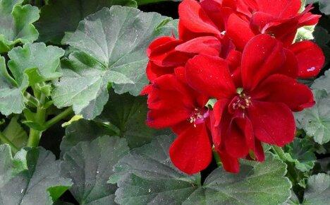 Лечебные свойства кроваво-красной герани и их использование в фитотерапии