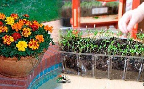 Выращивание бархатцев: стать мамой для своих цветов