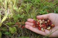 Где растет ягода княженика и что это такое