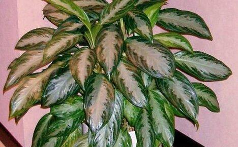 Как вырастить пышный куст аглаонемы: правила ухода за цветком
