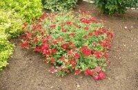 Выясняем, как укрыть на зиму почвопокровные розы
