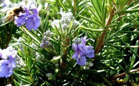 Лечебные свойства розмарина и противопоказания к использованию травы
