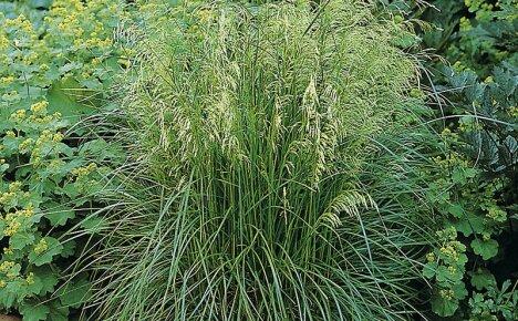 Как служат лечебные свойства травы щучки дернистой для нашего здоровья
