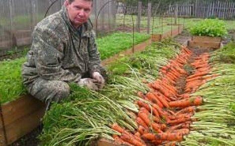 Высокие грядки – лучший способ выращивания моркови (видео)