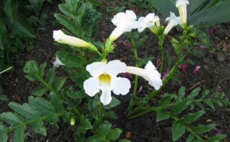 Нежная китайская красавица в вашем саду инкарвиллея Делавея Сноуп