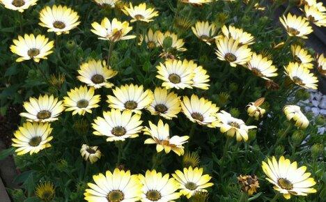 Выращиваем очаровательный цветок диморфотека на приусадебном участке