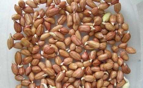 Подготовка арахиса к высаживанию в открытый грунт