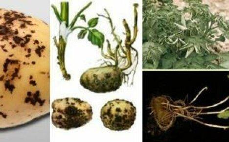 Боремся с ризоктониозом или черной паршой картофеля