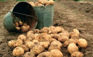 Как производиться защита картофеля от проволочника
