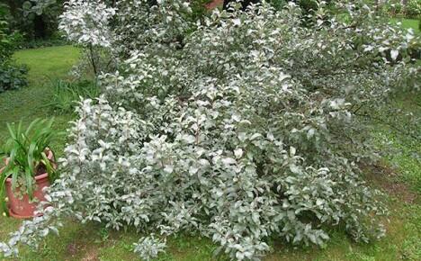 Несложное выращивание лоха серебристого в саду