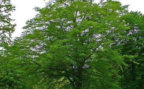 Как выглядит дерево граб – основные особенности популярных видов