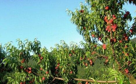 Как вырастить персиковое дерево и получить обильный урожай