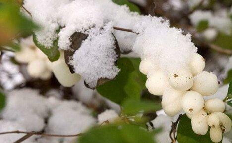 Знакомьтесь: элегантные виды снежноягодника