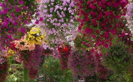 Цветочный водопад или петуния фортуния