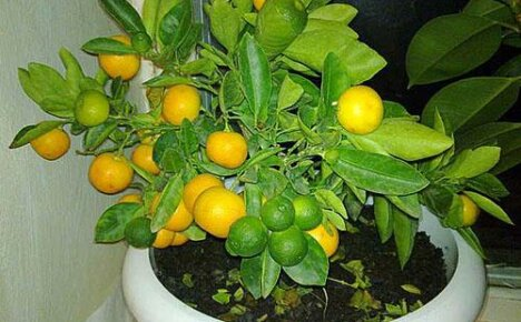 Комнатный мандарин — яркое олицетворение хорошего настроения в доме!