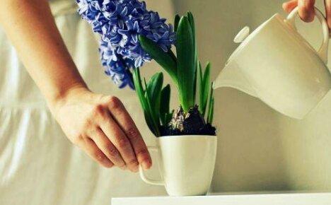 Как поливать гиацинт: частота и способы полива