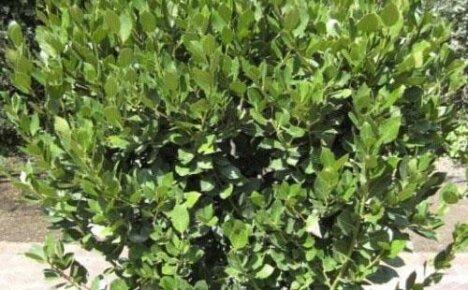 Изучаем выращивание лавра в открытом грунте