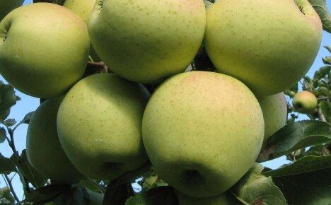 Зимняя яблоня Голден Делишес с золотистыми плодами