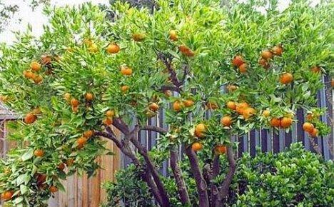 Уход за мандарином в домашних условиях
