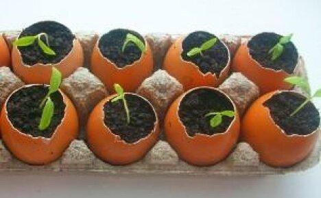 Рассада в яичной скорлупе — простое, практичное и выгодное решение
