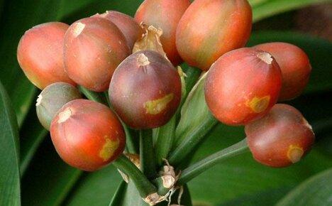 Размножение кливии семенами длиной в 4 года