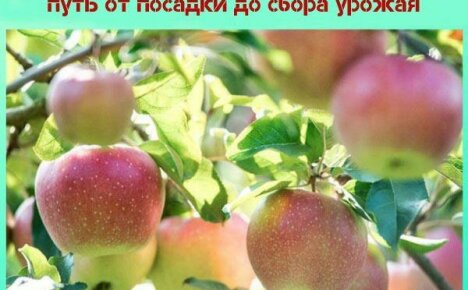 Сорт яблони Северный Синап: нелегкий путь от посадки до сбора урожая