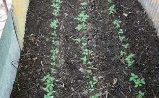 Почва для женьшеня – готовим грядки для выращивания растения в саду с учетом его требований