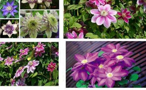 Размножение клематисов семенами: подсказки для новичков
