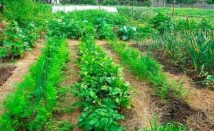 Мульча – «одеяло» для огорода