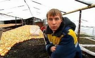 Видео: Посадка лука в теплицах без применения удобрений