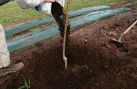 Как посадить яблоню весной: сроки и правила посадки