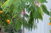 Что любит альбиция комнатная — тропическая красавица «шелковая акация»