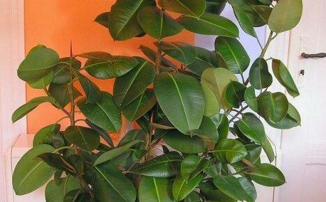 Выращиваем в квартире мощный красавец фикус каучуконосный
