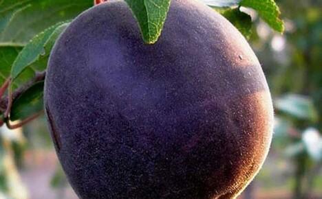Представляем вам гибридный абрикос Черный принц