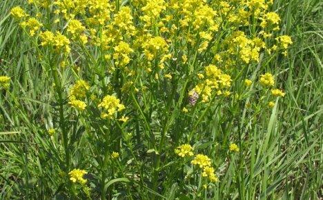 Уникальные лечебные свойства травы сурепки для укрепления организма
