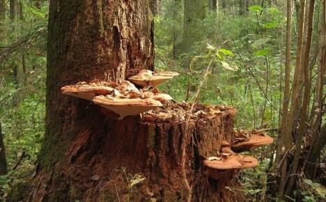 Эти загадочные ксилотрофы — знакомимся с древесными грибами