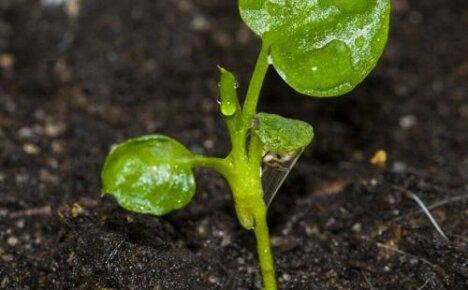 Особенности выращивания филодендрона семенным способом