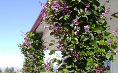 Выращивание долихоса из семян – украшаем сад вьющейся сиренью
