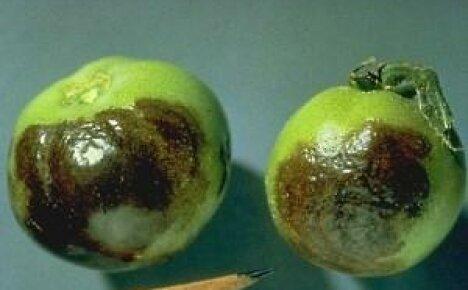 Сорта помидоров устойчивых к фитофторозу – это актуально