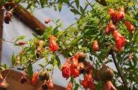 Как вырастить гранат в саду и в горшке на окошке