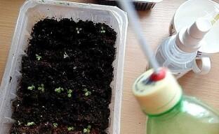 Кропотливый уход за рассадой лобелии